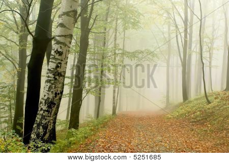 Autumn Beech Forest Landscape