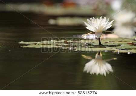 Reflection Lotus flower