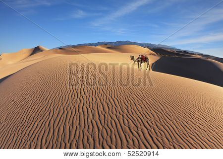 Gorgeous dromedary on sand dunes. Dromedary decorated with picturesque harness and bright red blanket