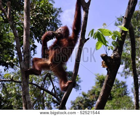 Wild orangutans at National Park