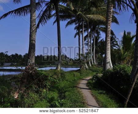 Coconut Trees Lined and Dirt Path