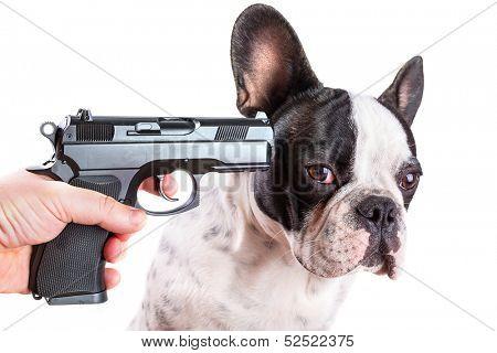 Gun pointed at sad french bulldog head over white background