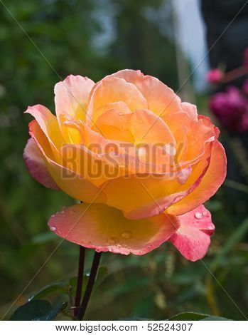 Beuatiful Rose