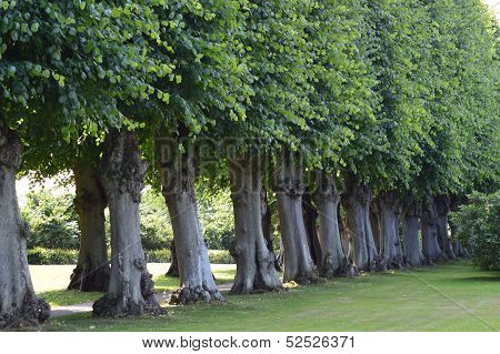 Trees in Barok Garden - Frederiksberg  Castle