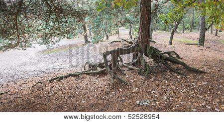 Rarely Roots Of A Scots Pine