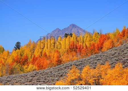 Golden yellow aspen trees on the hill