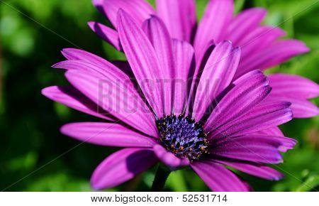 Gazania Krebsiana Flower