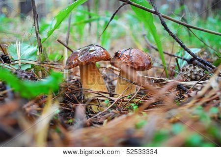 Two Boletus Mushroom.