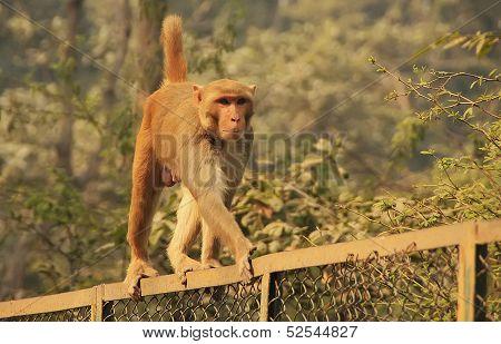 Rhesus Macaque Walking On A Fence, New Delhi