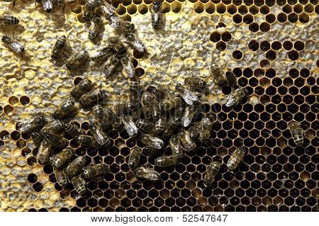 Bees And Comb