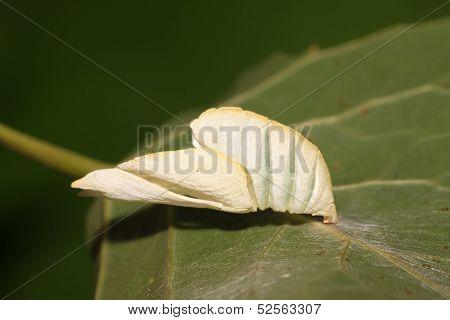 Pupa Shell