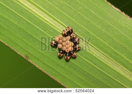 Stinkbug Larvae And Eggs On Green Leaf