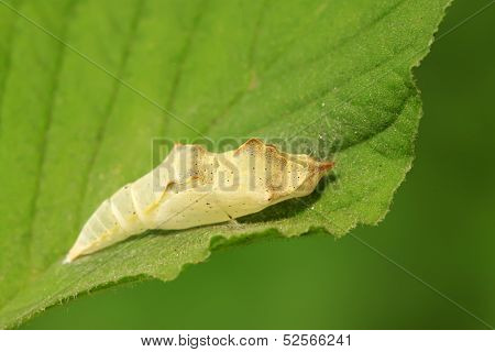 Butterfly Insects Pupa Shell