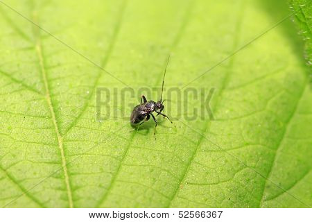 Black Stinkbug Larvae On Green Leaf
