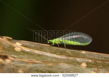 Lacewing Flies On Green Leaf