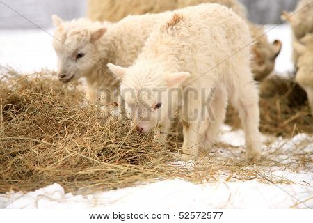 Flock of sheep skudde with lamb