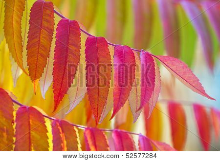 Staghorn sumac in vibrant autumn colours.