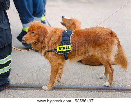 Cute dog working for fire brigade