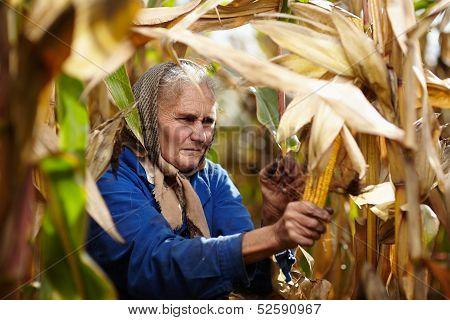 Old Female Farmer At Corn Harvest