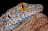 image of tokay gecko  - A young tokay gecko is resting on driftwood - JPG