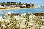 image of sand lilies  - wild lily growing on sand dunes on the shore of the Mediterranean sea - JPG
