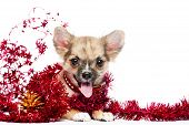 stock photo of christmas puppy  - happy Chihuahua puppy in a frame of shining red tinsel with golden pinecone on white background - JPG