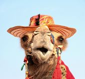stock photo of nomads  - Funny portrait of camel with hat .