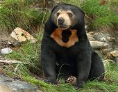 stock photo of nocturnal animal  - Sean the Sun bear at Wellington Zoo - JPG