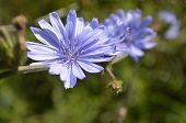 stock photo of chicory  - Pretty Chicory Flowers in a row on a small twig - JPG