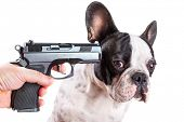 foto of pointed ears  - Gun pointed at sad french bulldog head over white background - JPG