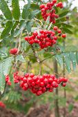 picture of rowan berry  - Weathered berries and leaves at a Rowan tree or Sorbus aucuparia - JPG