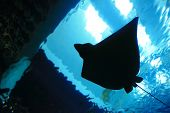 stock photo of manta ray  - a beautiful stingray silhouette in the ocean - JPG