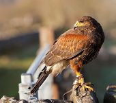 stock photo of hawk  - Juvenile Harris Hawk out near Chelmorton in the Peak District National Park - JPG