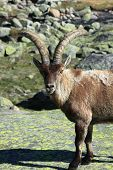 stock photo of nubian  - Standing alpine ibex - JPG