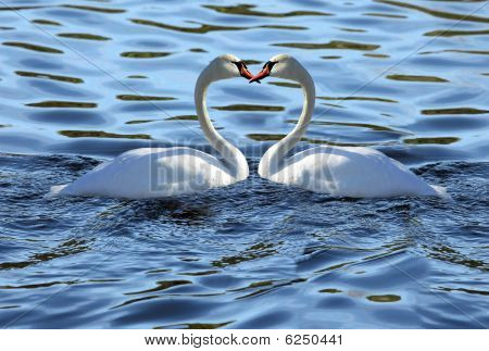 Love Couple  Swans Forming Love Heart