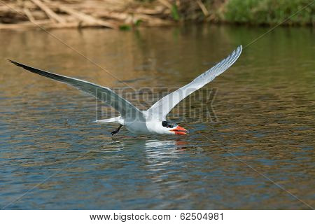 Caspian Tern Gliding Low Over Fresh Water Ready To Scoop Up A Drink