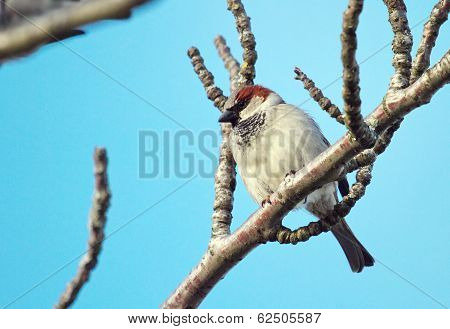 Breeding male sparrow