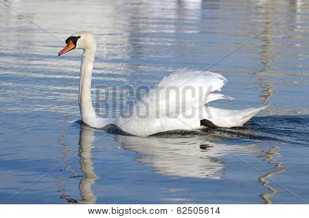 Mute swan with open wings