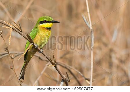 Little Bee-eater Perched In Dried Grasses