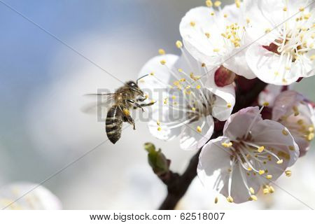 Honey bee enjoying peach blossom on a lovely spring day