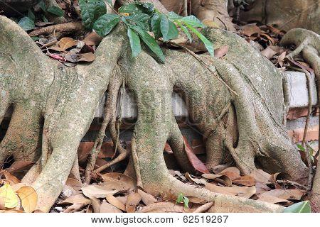 Close Up Root Of Banyan Tree