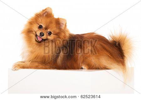 Adorable, furry spitz on a white background