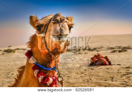 Detail Of Camel's Head With Funny Expresion