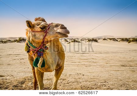 Camel Standing In The Desert Looking Away