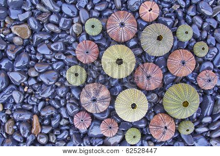 variety of colorful sea urchins on black pebles beach