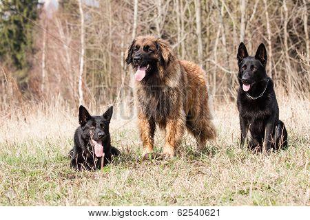 Leonberger With Black German Shepherd