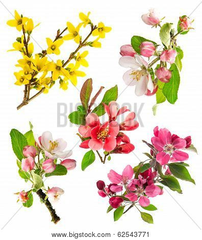 Closeup Blossoms Apple Tree, Cherry Twig, Forsythia
