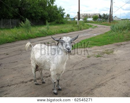 Rural Road And Nanny-goat