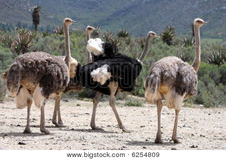 Breeding Ostriches