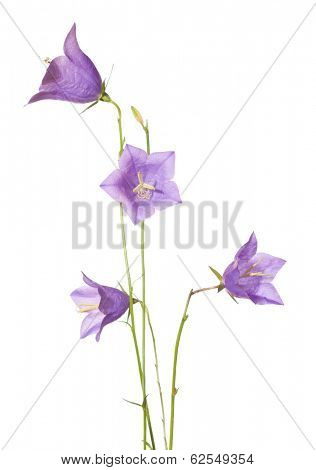 Bellflowers  isolated on white. Campanula rotundifolia